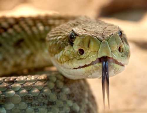Snake Season: Safety Tips for Living with Venomous Snakes